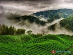Китайский город признан крупнейшей в мире чайной плантацией