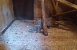 Краснокнижного кота спасли в Приморье