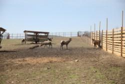 На уникальной ферме маралов в Лазовском районе ждут прибавления