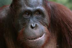 В Калининграде сделали интеллектуальный тренажер для орангутана