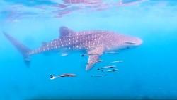 Семейство китовых акул обнаружено у Ко Тало в провинции Прачуапкхирикхан