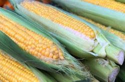 Урожай кукурузы увеличился в Приморье
