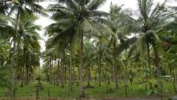Главный кокосовый район Вьетнама атакован