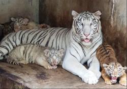 Во вьетнамском зоопарке родились детеныши тигра, жирафа и антилопы